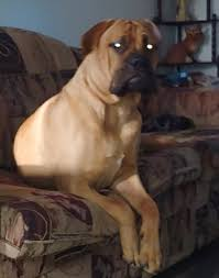 Bullmastiff Growth Chart Puppy Growth Chart Ed Bullmastiff Male