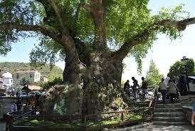 musa ağacı antakya ile ilgili görsel sonucu