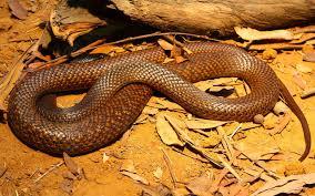 Snake Identification Chart Australias 10 Most Venomous Snakes