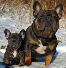 Blue Tri French Bulldog Puppies For Sale Sired By Shrinkabulls Blue