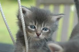 cute fluffy gray kittens.  Cute To Cute Fluffy Gray Kittens U
