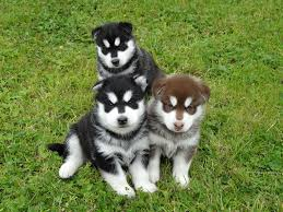 brown and black husky puppies. Plain Puppies The Three Lads  On Brown And Black Husky Puppies A