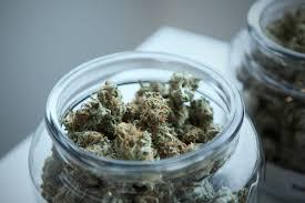 Professor Explores Marijuana S Safe Use And Addiction Harvard Gazette