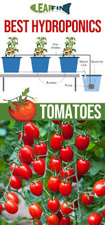 Take Heart You Can Savour The Homegrown Tomato Experience