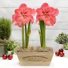 lagoon gift kit 2 bulbs in wood crate amaryllis gift kit