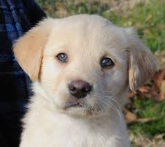 yellow lab with blue eyes. Interesting Eyes We Were Told The Pups Are Golden Lab Mixes But We Cannot Verify As Have  Not Seen Their Parents This Gorgeous Boy Looks Most Like For Yellow Lab With Blue Eyes E