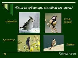 Презентация на тему Определение местных птиц по пению класс  4 Голос какой птицы вы сейчас слышите Свиристель Камышовка Синица большая Воробей