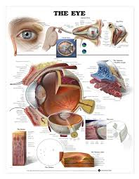 Disorders Of The Eye Poster Eye Disease Anatomical Chart