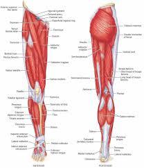 Muscle Anatomy Leg Diagram Human Anatomy Leg Muscles Diagram
