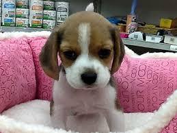 「ビーグル子犬」の画像検索結果