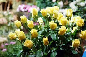 Cuidados De Los Rosales  FlorpediacomCuidados De Los Rosales