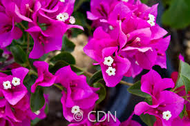 this slow growing bougainvillea dwarf bush can be used as a groundcover that grows up