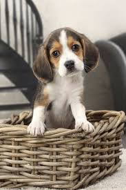 cute beagle puppies. Plain Puppies Cute Beagle Puppy In A Dog Basket Throughout Puppies T