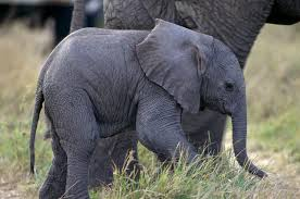 elephant color. Modren Elephant And Elephant Color D