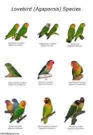 Types Of Lovebirds Chart African Lovebirds Love Birds Pet