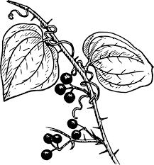 Bessen Biologie Plantaardige Gratis Vectorafbeelding Op Pixabay