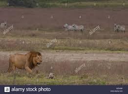 lioness hunting zebra.  Zebra Lion And Zebra  Stock Image On Lioness Hunting G