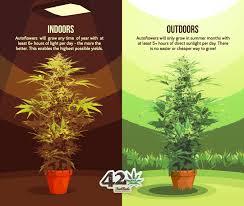 difference between growing autoflowers indoors and outdoors described