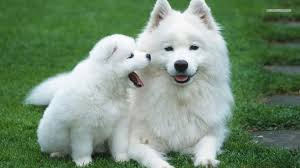 American Eskimo, All you need to know / by Raneen Mallak