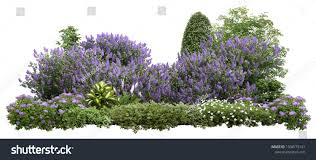 Lilacs In Landscape Design Flower Hedge Isolated On White Background Stock Photo Edit