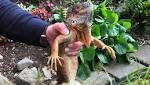 Stranded iguana rescued from cherry tree over Lancaster canal - Evening Express