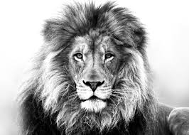 lion drawing. Delighful Drawing Best Pencil Drawing Of A Lion  Google Search Plus Throughout Drawing I
