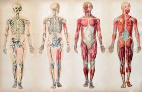 Old Vintage Anatomy Charts Of The Human Body Showing The Skeletal