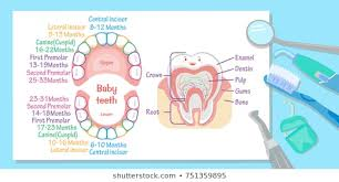 Tooth Eruption Images Stock Photos Vectors Shutterstock