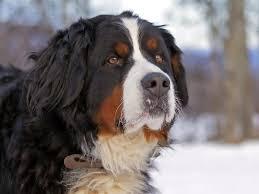 bernese mountain dog mix. Delighful Mountain Bernese Mountain Dog Mix To S
