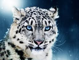 white tiger with blue eyes in snow. Fine Snow White Tiger Cubs With Blue Eyes Intended In Snow E