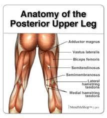 Upper Leg Muscle Chart Hamstring Muscles 1 Semitendinosus 2 Semimembranosus 3