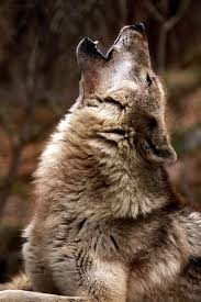 wolf howling. Fine Wolf A Close Up Of An Adult Wolf Howling For H