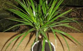 Poisonous Toxic Plants Palm Plants Poisonous To Cats Tridanim