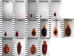 Bedbug Id And Common Misidentifications Bedbugs