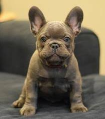 french bulldog puppy for in los angeles ca