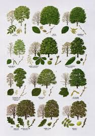 Tree Identification Chart 3 British Tree Leaf Identification Keys Biological Science