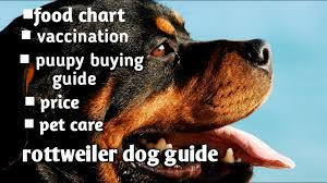 Rottweiler Puppy Diet Chart Rottweiler Dog Guide In Hindi Ii Puppy Buying Guide Ii Vaccination Ii Food