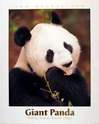 giant panda bear animal bamboo wildlife wall decor art print poster 16x20  on giant panda wall art with amazon giant panda bear animal bamboo wildlife wall decor art