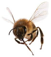 Image result for bees