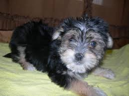 maltese are generally picture of a tri colored morkie puppy previously