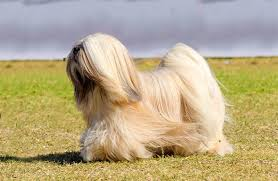 Lhasa Apso Diet Chart Lhasa Apso Dog Breed Information Pictures Characteristics