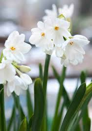 narcissus paperwhite ziva an early blooming daffodil producing lake houses