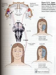 usmlenotebook note that only the lmn that are innervating muscles of forehead and eye are getting bilateral corticobulbar innervation