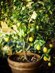 lemon tree in pot 2