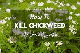 getting rid of chickweed. Wonderful Rid On Getting Rid Of Chickweed H