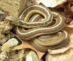 Common Garter Snake Wikipedia