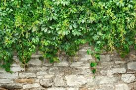 Best 25 Ficus Pumila Ideas On Pinterest  Vines Ivy Wall And IvyWall Climbing Plants