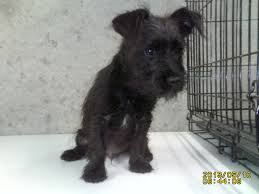 black wire haired terrier mix. Beautiful Haired For Black Wire Haired Terrier Mix