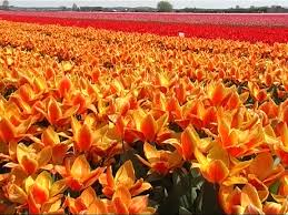 Image result for orange color flower images