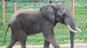 'Shaka' the <b>African Bull</b> Elephant arrives in Somerset | West Country ...
